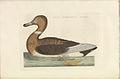 Nederlandsche vogelen (KB) - Anas platyrhynchos (366b).jpg