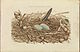 Nederlandsche vogelen (KB) - Phalacrocorax carbo (092a).jpg