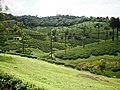 Nelliampathy Tea Plantation - panoramio.jpg