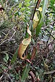 Nepenthes densiflora (8187850073).jpg