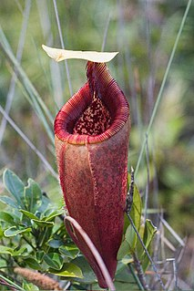 <i>Nepenthes mantalingajanensis</i> species of plant