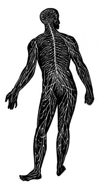 Nervous System (PSF).png