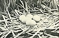 Nests and eggs of Australian birds, including the geographical distribution of the species and popular observations thereon (1901) (14564725728).jpg