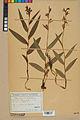 Neuchâtel Herbarium - Cephalanthera rubra - NEU000046812.jpg