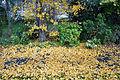 New Zealand - Fallen ginkgo leaves - 9230.jpg