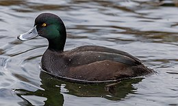 New Zealand scaup, The Groynes, Christchurch, New Zealand.jpg