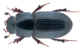 Nialus varians (Duftschmid, 1805).png