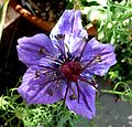Nigella hispanica. - Flickr - gailhampshire.jpg