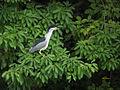 Night Heron 5181.jpg