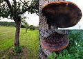 Not yet determined huge mushroom at an Apple tree near Gourdon - panoramio.jpg