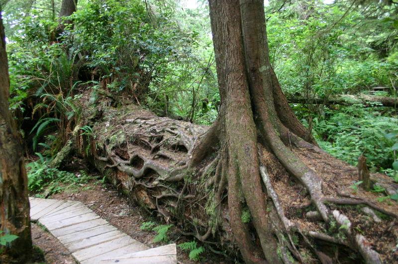 racines traçantes