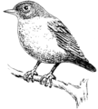 Nuthatch (PSF).png