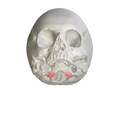 Occipital condyle04.png