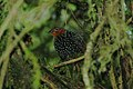 Ocellated Tapaculo 2015-06-06 (4) (38501180600).jpg