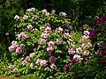 Odessa Botanic Garden Tree peony 02.jpg