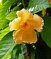 Odontadenia macrantha -新加坡植物園 Singapore Botanic Gardens- (15346862769).jpg
