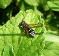 Odynerus species. (O. melanocephalus^) Eumenidae - Flickr - gailhampshire.jpg