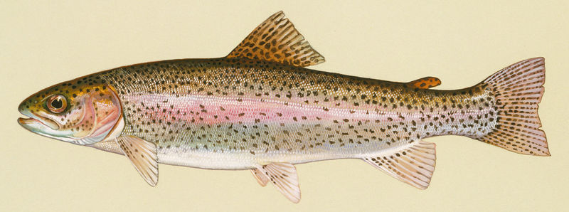 Bestand:Oncorhynchus mykiss mid res 150dpi.jpg