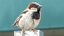 Wêne:One sparrow then another.ogv