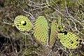 Opuntia insularis (15248393694).jpg