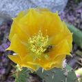Opuntia littoralis flower 2003-09-04.jpg