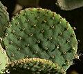 Opuntia rufida 3.jpg