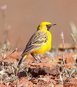 Orange Chat (Epthianura aurifrons), Flinders Ranges National Park, South Australia.jpg