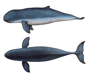 Irrawaddy dolphin - 1878 illustration