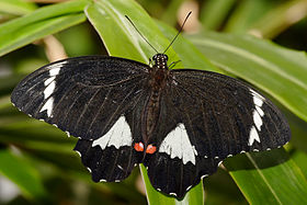 Orchard Butterfly - melbourne zoo.jpg