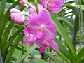 Orchids in Thailand 2013 2742.jpg