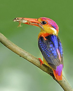 Oriental dwarf kingfisher - Ceyx erithaca with frog kill