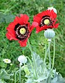 Oriental poppies gone wild - geograph.org.uk - 1397319.jpg