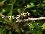 Orthetrum albistylum (young female) (1).JPG