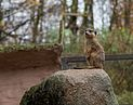 Osnabrück - Zoo - Suricata Suricatta 01.jpg