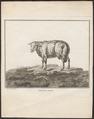 Ovis aries - 1700-1880 - Print - Iconographia Zoologica - Special Collections University of Amsterdam - UBA01 IZ21300085.tif