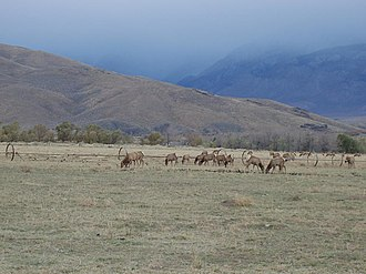 Owens Valley - Tule Elk grazing in Owens Valley.