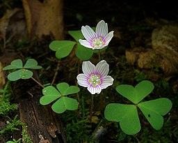 oxalis des montagne fleur blanche