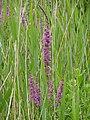 P1000328 Lythrum salicaria (Purple Loosestrife) (Lythraceae).JPG