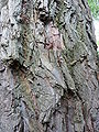P1000668 Salix alba (Vitellina) (Salicaceae) Bark.JPG