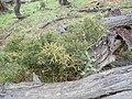 P3048237 Melicytus angustifolius subsp divaricatus 03.jpg