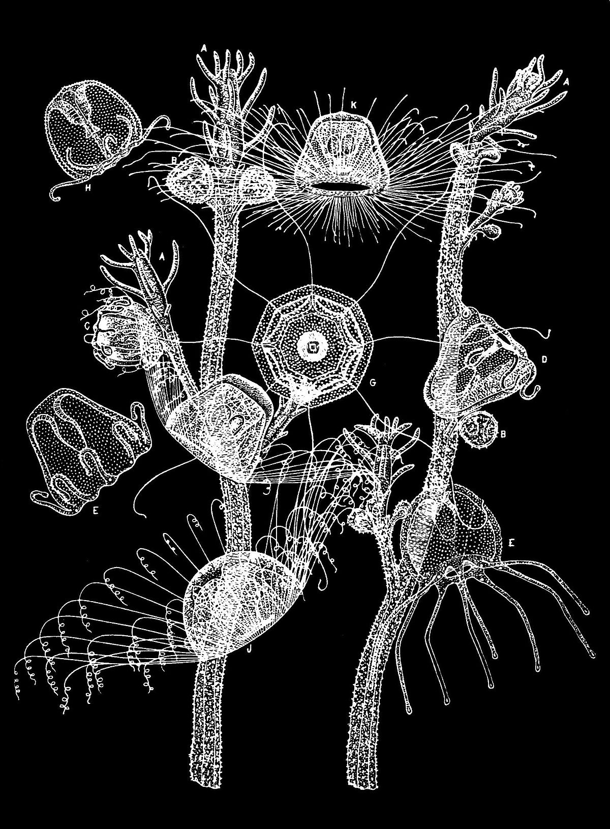turritopsis dohrnii