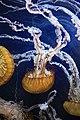 Pacific Sea Nettles (Chrysaora fuscescens) (7153378025).jpg