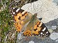 Painted Lady.Vanessa cardui - Flickr - gailhampshire.jpg