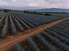 Blue agave fields near Tequila