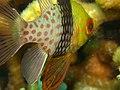 Pajama Cardinal Fish-MACTAN - panoramio (2).jpg