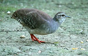 Pale-browed tinamou - Jorupe Preserve - Ecuador