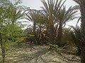 Palm trees in Turbat, Pakistan.jpg