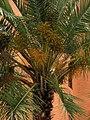 Palma de dátil (Phoenix dactylifera) (14527560704).jpg