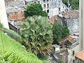 Palmera en Salvador - panoramio.jpg