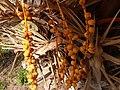 Palmeras en Trenque Lauquen (planta 02) foto 03.JPG